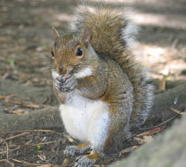 squirrel removal